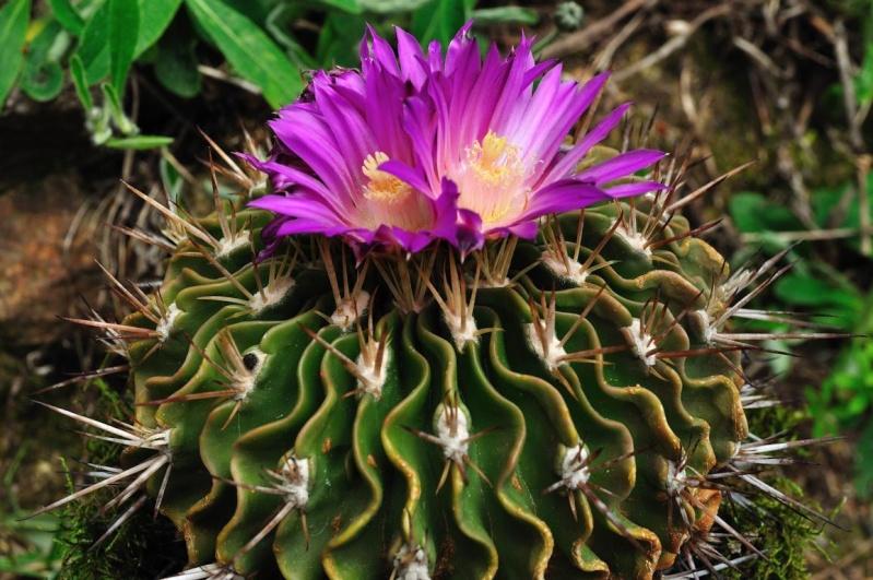 Echinofossulocactus lamellosus Lamell10
