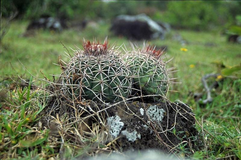 Melocactus delessertianus Melo-d12