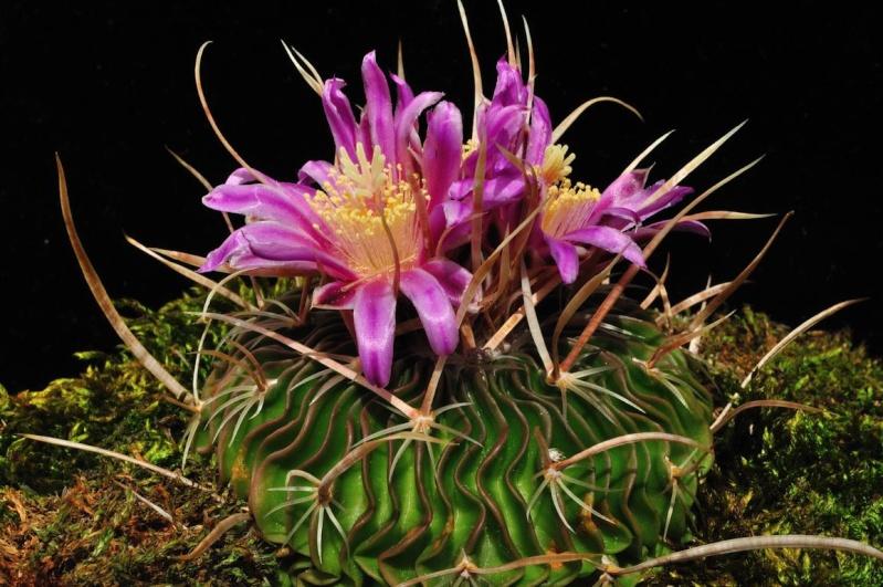 Echinofossulocactus multicostatus Mulico10