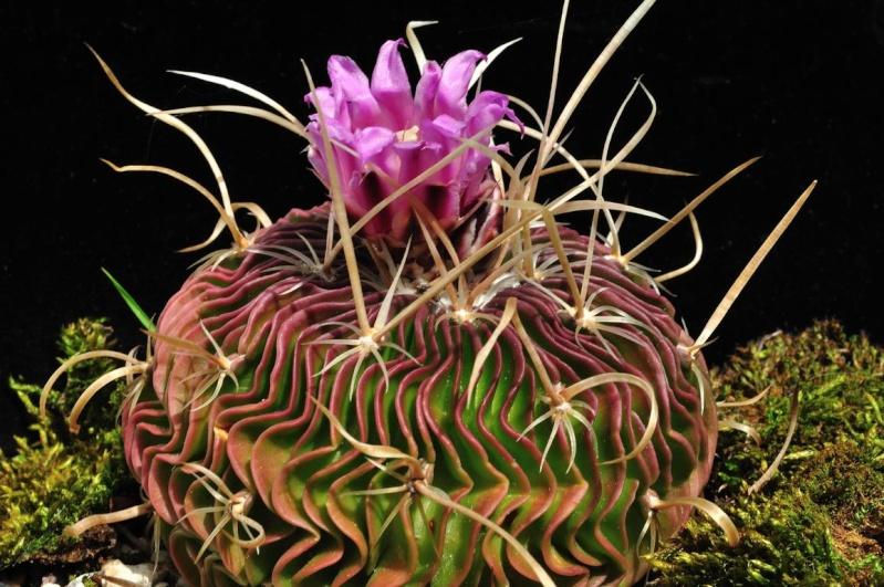 Echinofossulocactus multicostatus Multic10