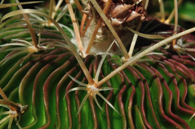 Echinofossulocactus multicostatus Multic11