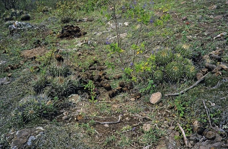 Echinofossulocactus lamellosus Stenoc11
