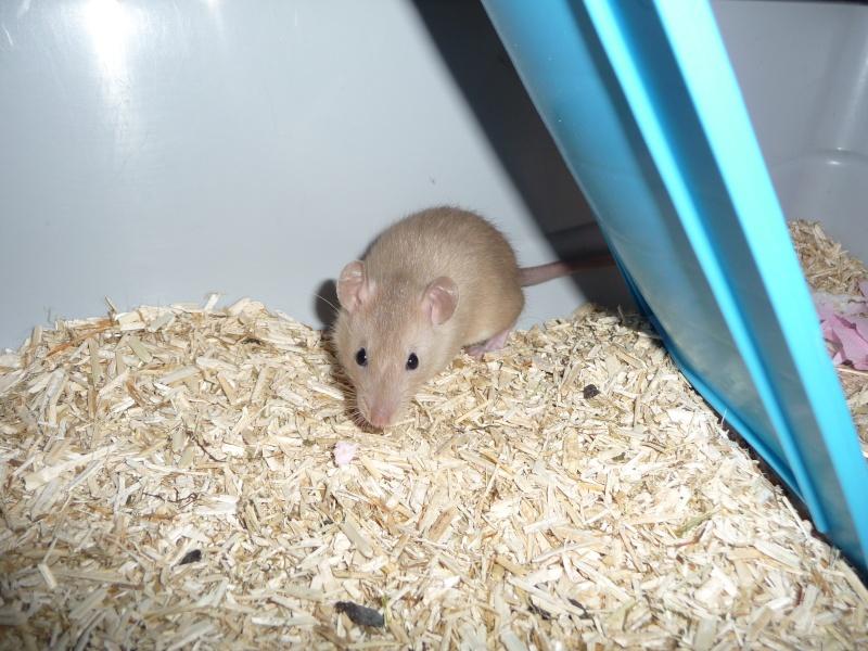 Ma première ratte P1110710