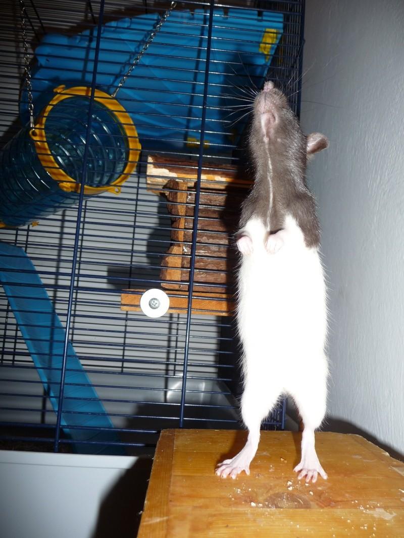 Ma ratte est-elle enceinte ? P1110713