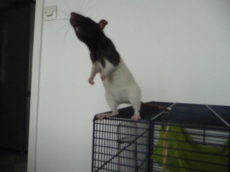 Ma ratte est-elle enceinte ? P1110812