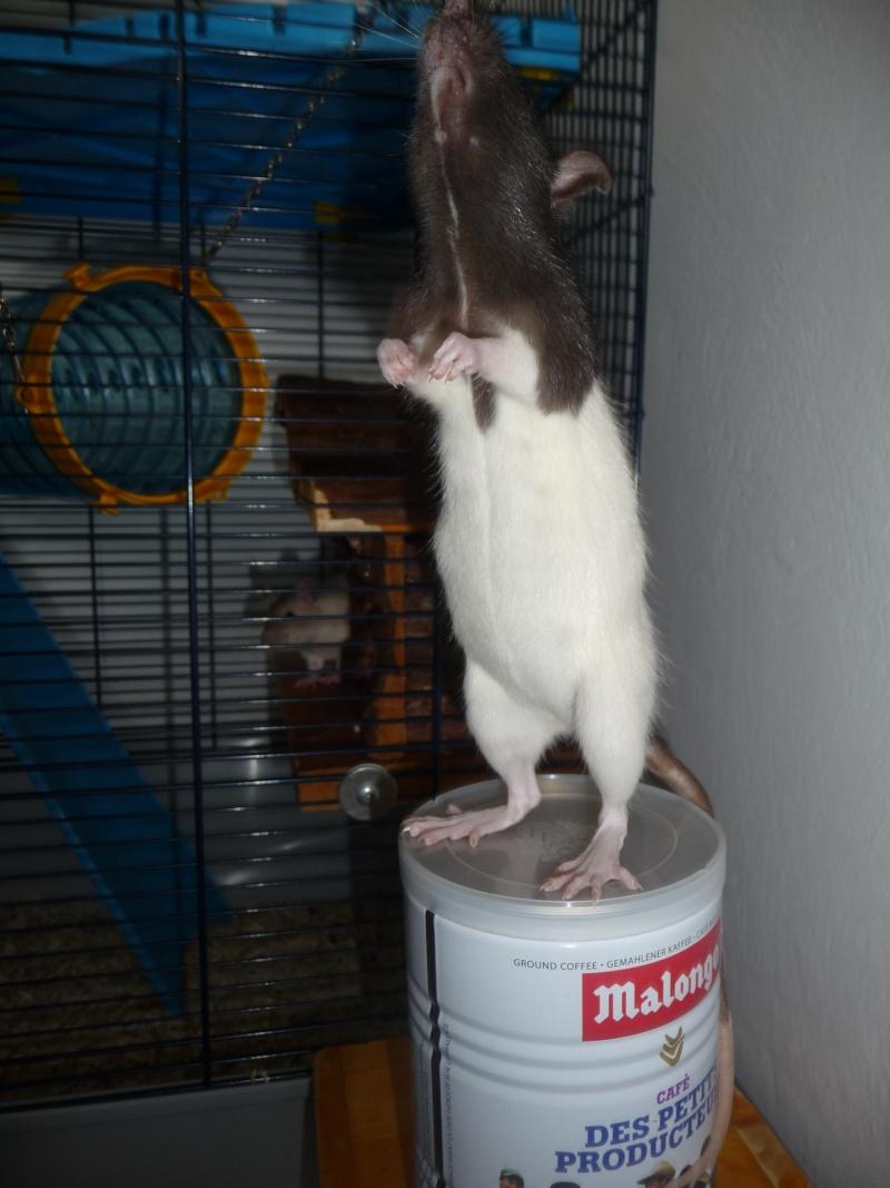 Ma ratte est-elle enceinte ? P1110813