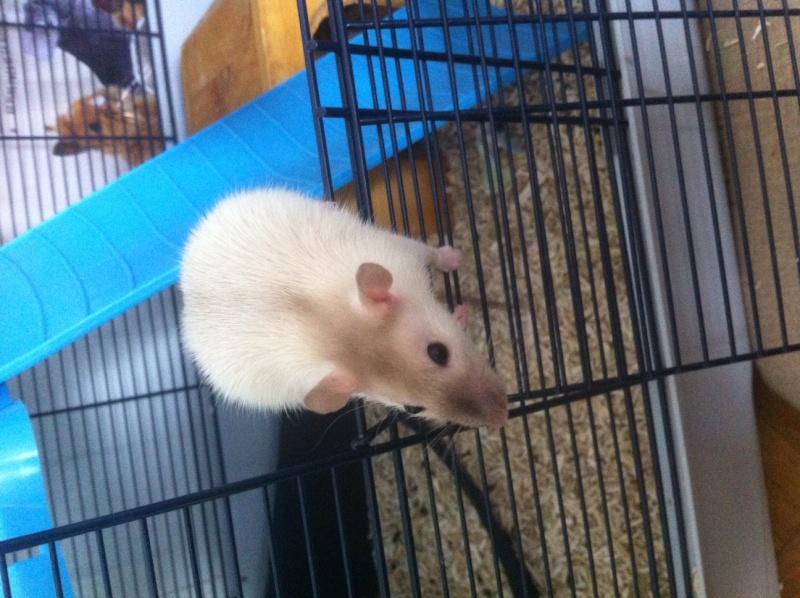 Ma première ratte Photo_10
