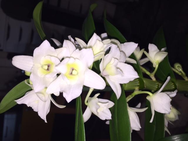 Dendrobium Dendro11