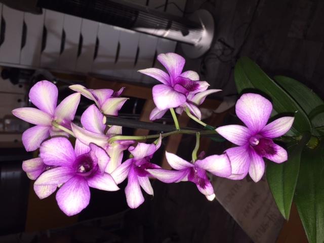 Dendrobium Dendro13