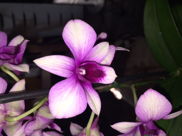Dendrobium Dendro14
