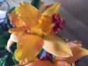 Cattleya Mix Cat110