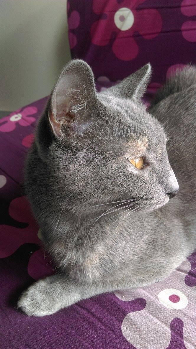 Isabelle, femelle type européen grise estimée née 12/02/2015 12788310