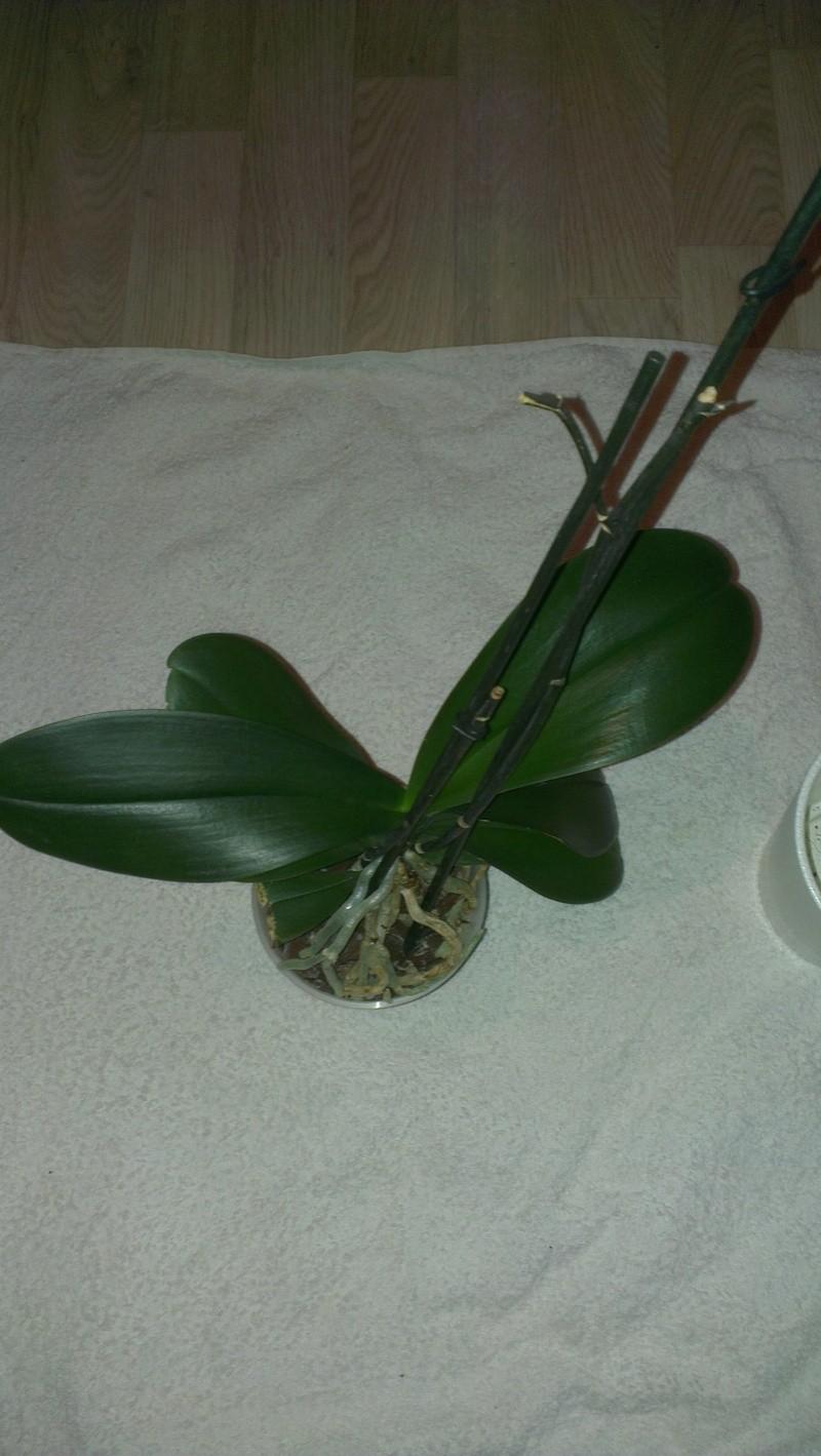 Phalaenopsis ein Jahr ohne Blüherfolg Imag1611