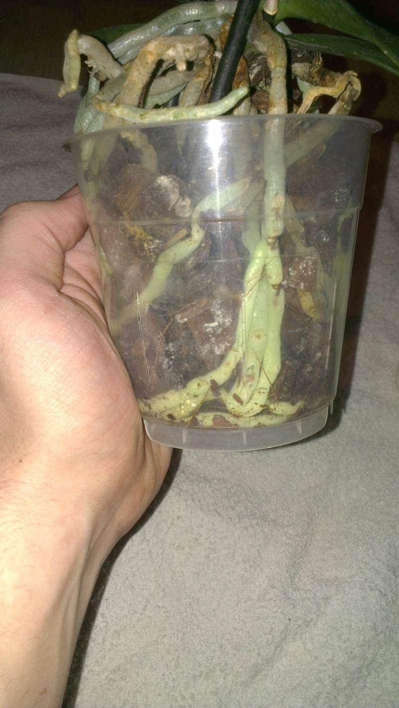 Phalaenopsis ein Jahr ohne Blüherfolg Imag1613