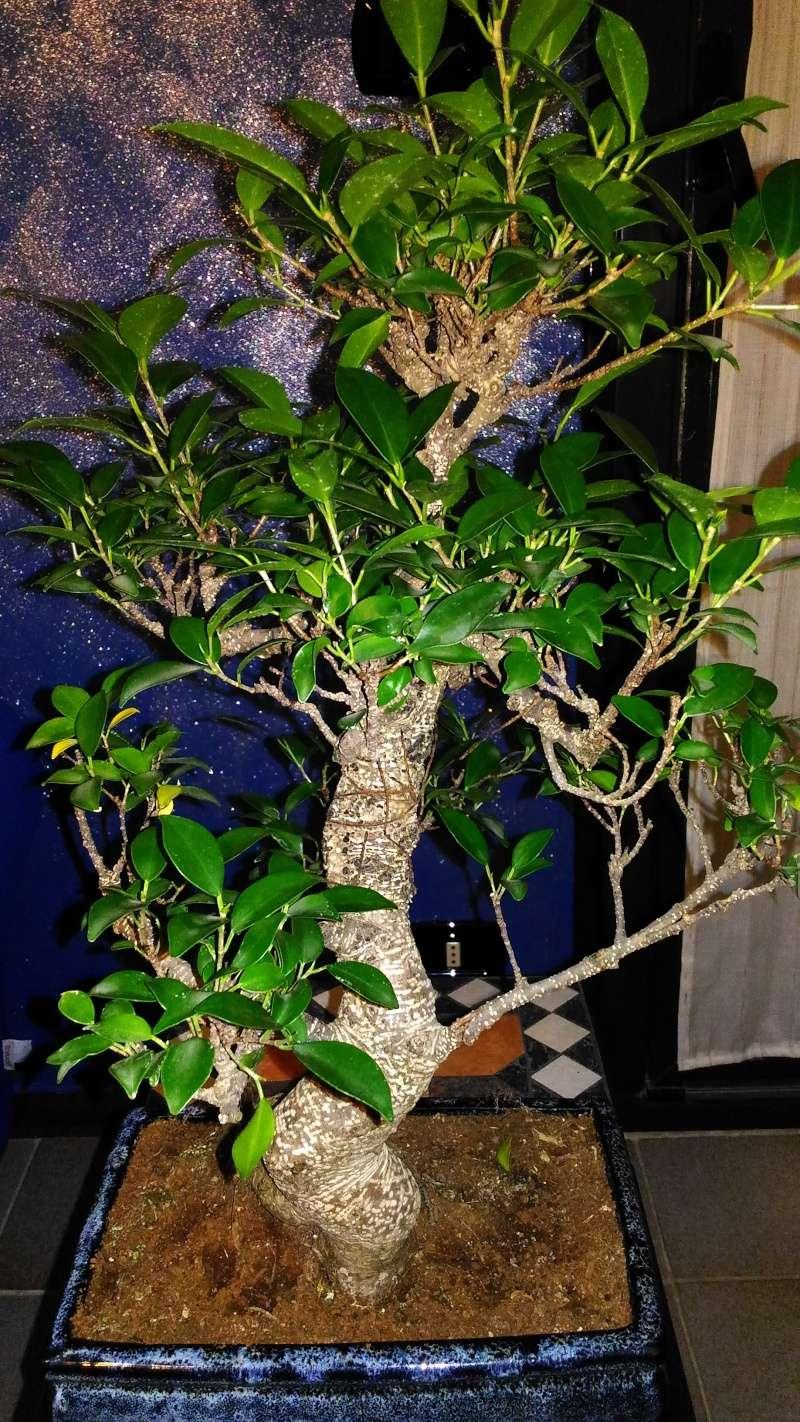Ficus Retusa? P_201613
