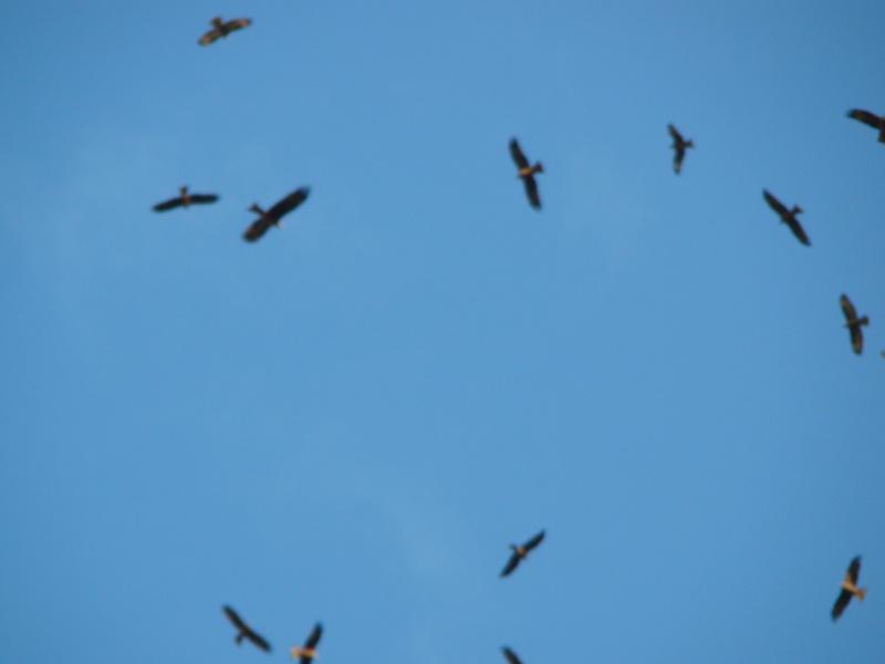 Migration de rapaces Dsc07413