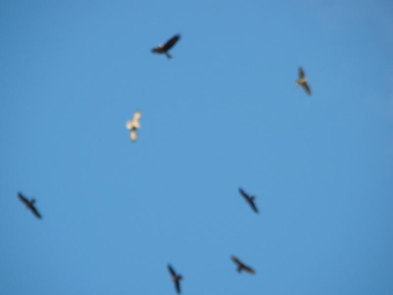 Migration de rapaces Dsc07414