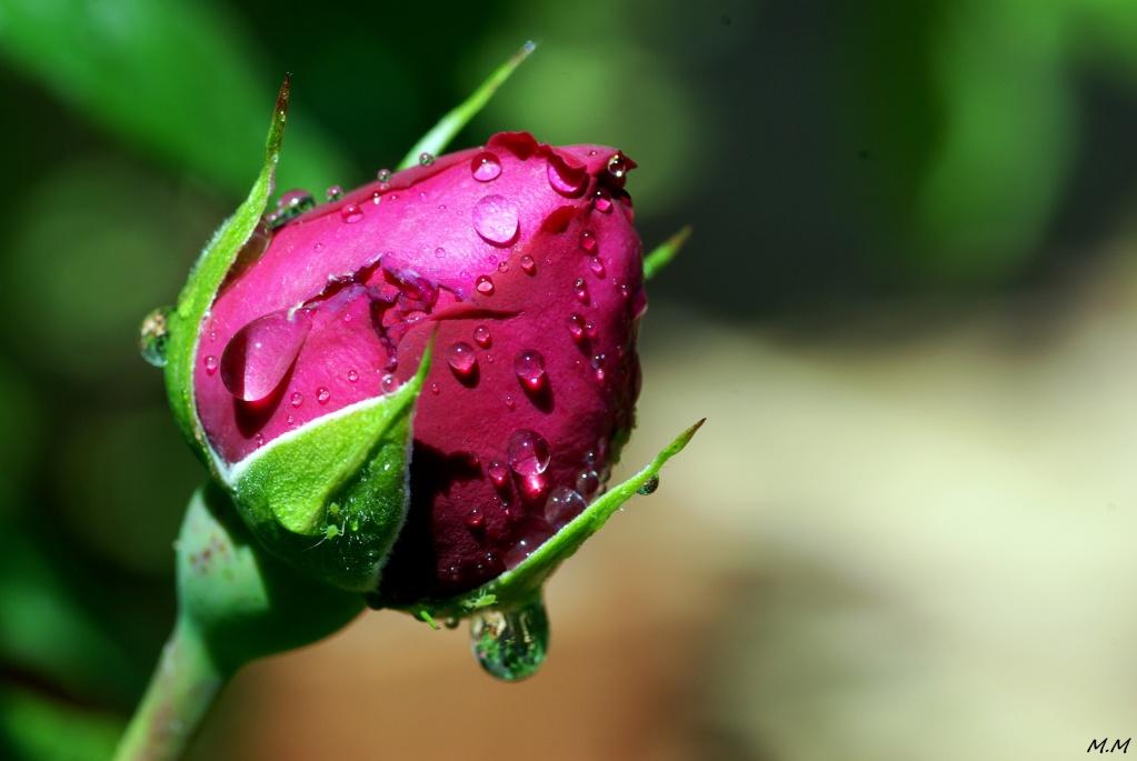 Rose après la pluie Imgp7710