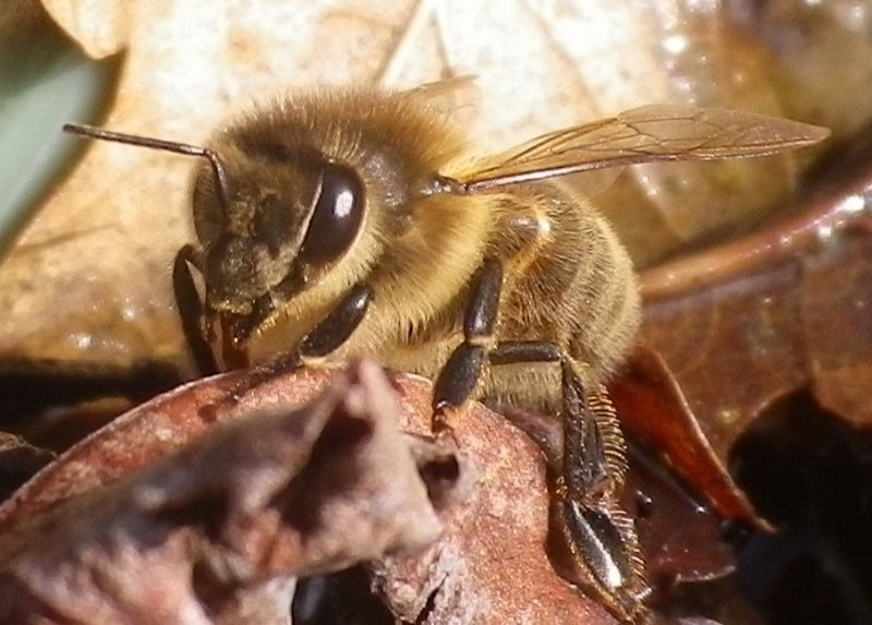 Photos diverses d'abeilles  Captur12