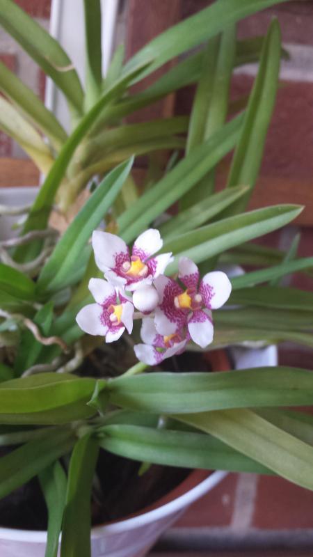 Blütentriebe bleiben stecken-Sarcochilus hartmannii Pictur11