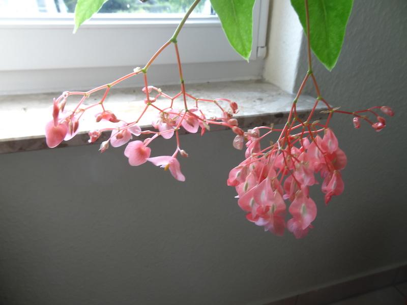 Begonia - Begonien - Seite 4 13_07_10