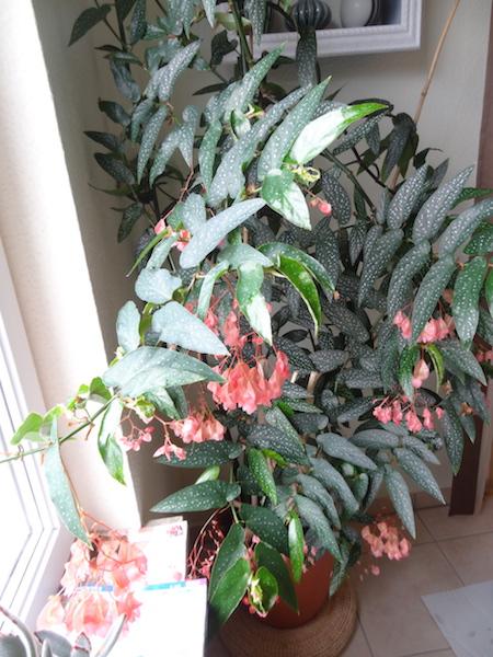 Begonia - Begonien - Seite 4 16_07_10