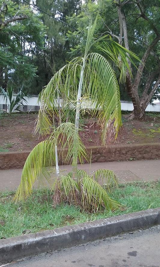 Identification graine palmier tropical germée en 7 jours Palm_r11