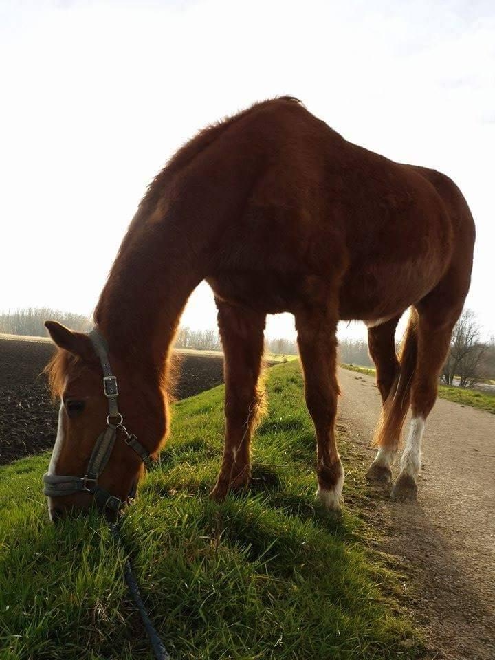 URBINO cheval de selle de 1986 - Page 2 Urbino11