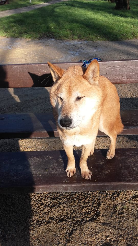 Hokko Shiba Inu 8 ans ASSO44 ADOPTE Hokko110
