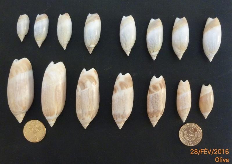 Agaronia acuminata - (Lamarck, 1811) - Page 2 Nc46-o10