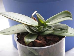 Phalaenopsis/Doritaenopsis siam treasure blue  Img_2917