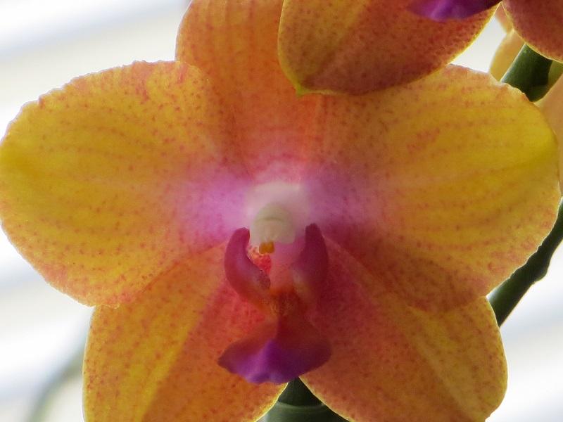 Phalaenopsis, aber keine Multihybride? Img_2923