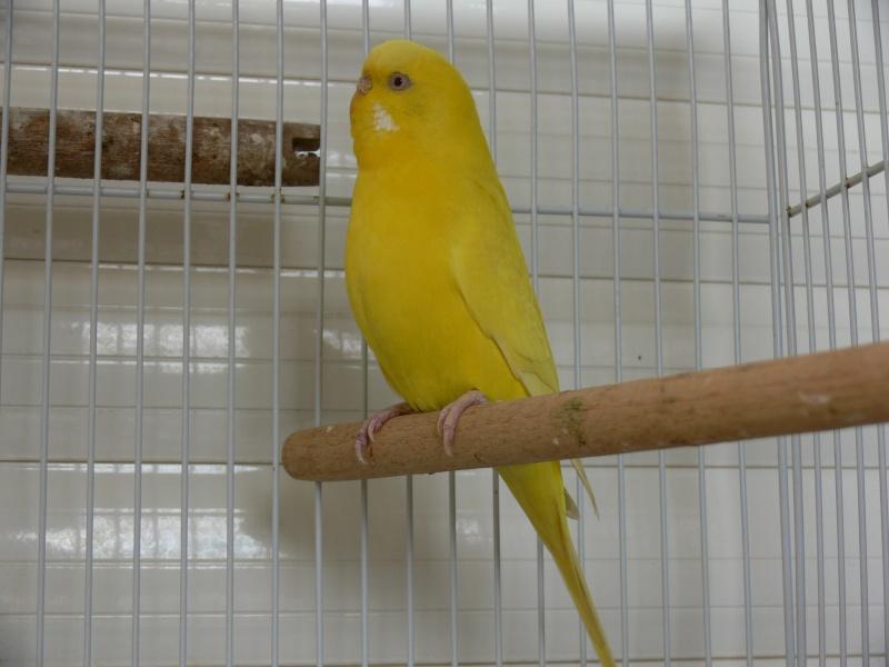 Sexage perruche jaune P1130912