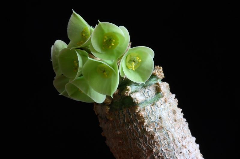 Euphorbia ankarensis Euphor17