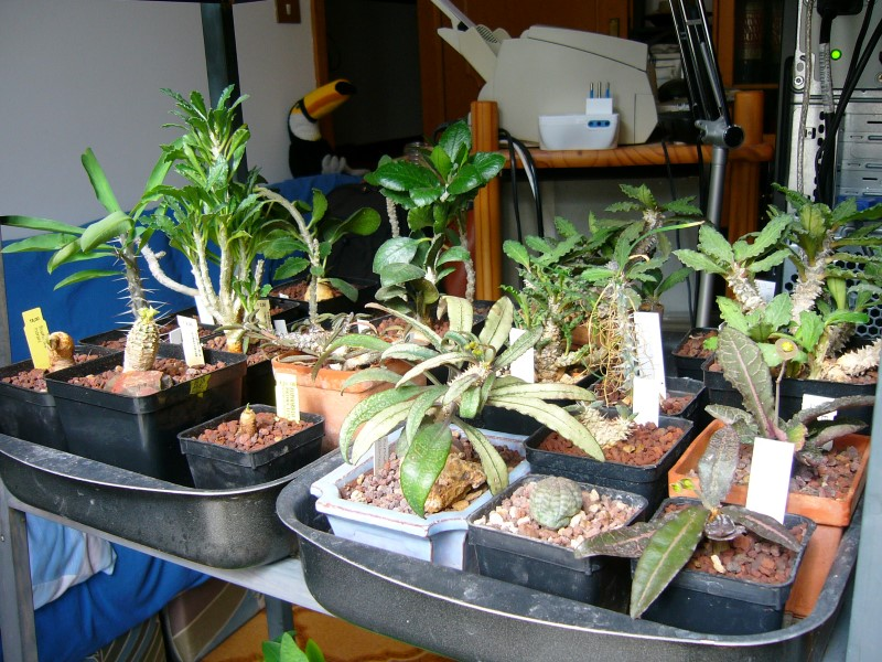 Euphorbia ankarensis P1690010