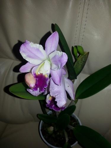 Orchideen in Glasvasen 5 (SGK) - Seite 4 Cattla10
