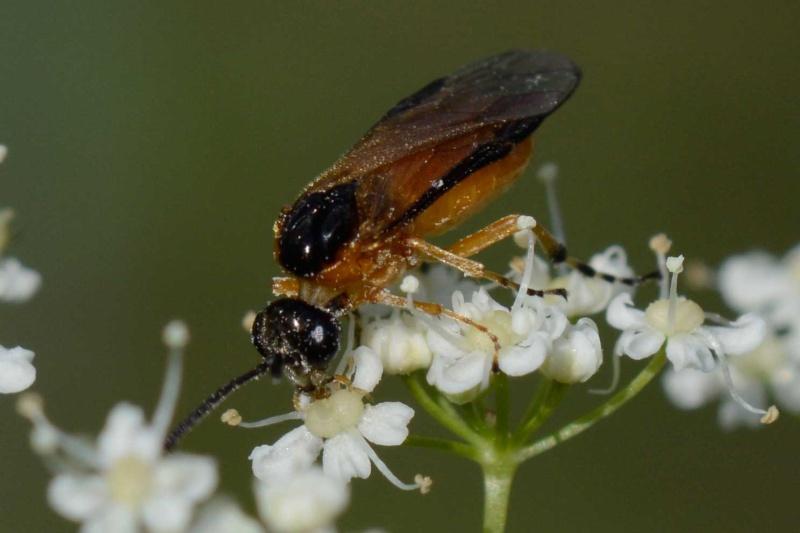 Athalia?  fam. Tenthredinidae Athali10