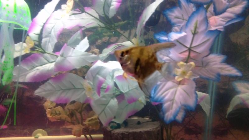 sexing angelfish, please help  Win_2011