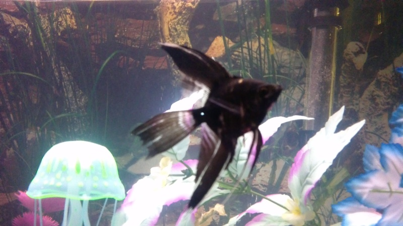 sexing angelfish, please help  Win_2012