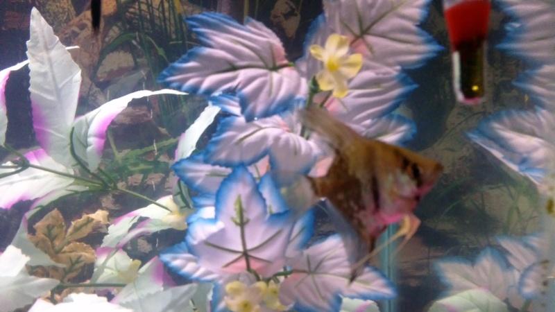 sexing angelfish, please help  Win_2013