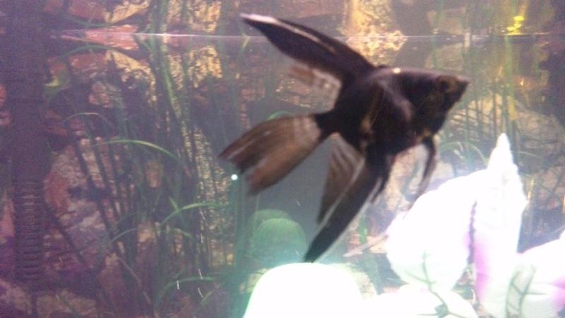 sexing angelfish, please help  Win_2014