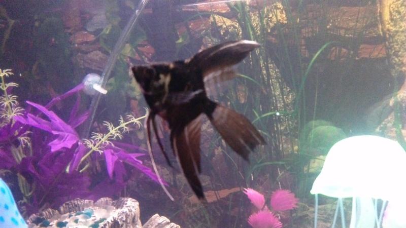 sexing angelfish, please help  Win_2021