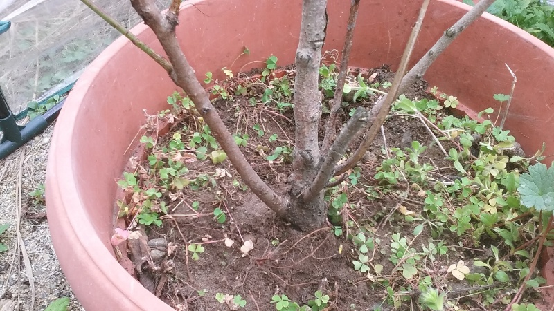 Prebonsai  pesco  20160316
