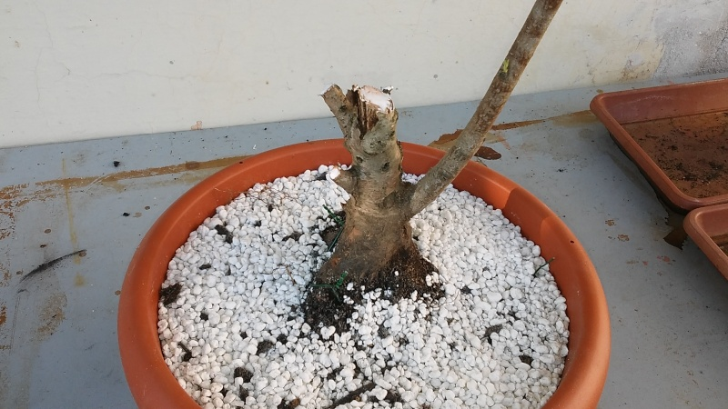 Prebonsai  pesco  20160335