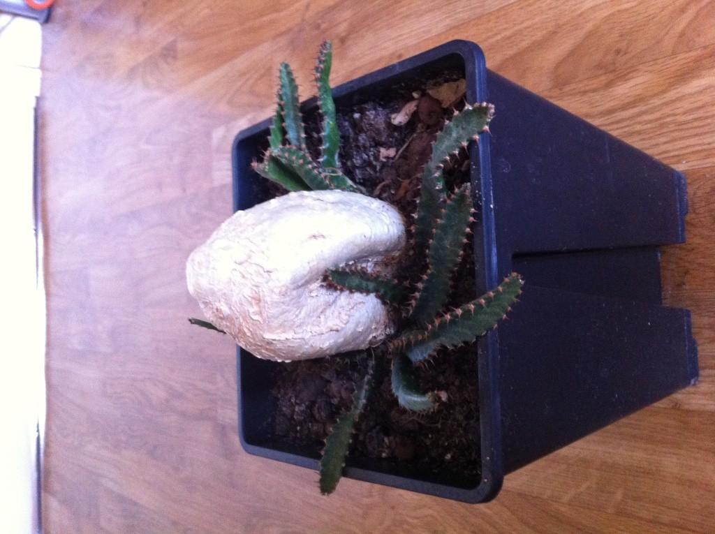 Euphorbia stellata Img_1114