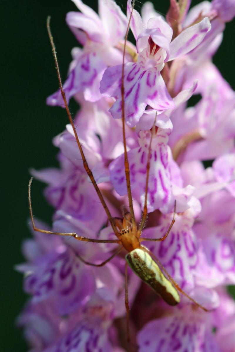 araignée à identifier sur fuschii Fuschi10