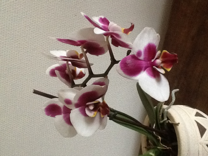 Orchidee 6835d210