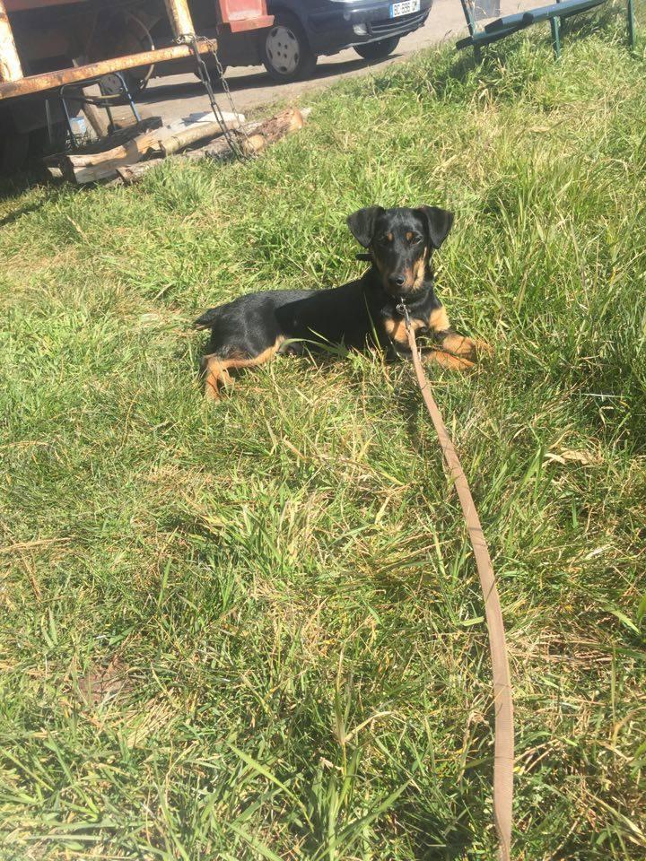 JUSTY (croisé jagd terrier noir et feu) 11696510