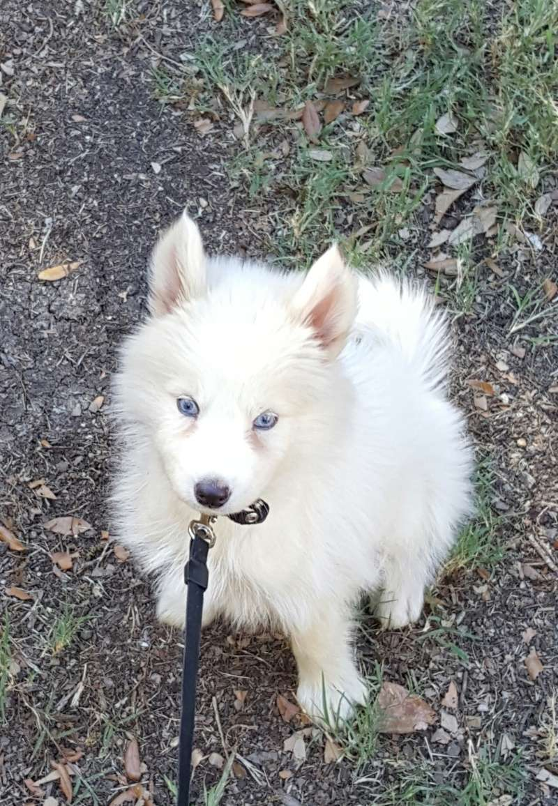 Did I get a pomsky and not know it ?  20160319