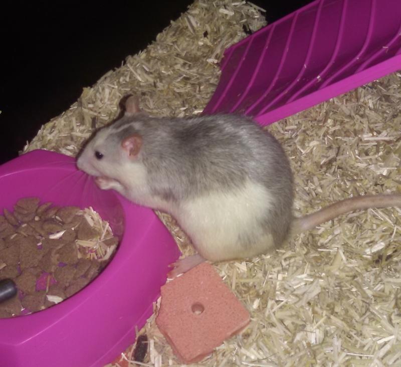 Poids de mes rats 20160310